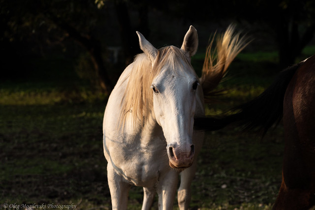 White Horse playing