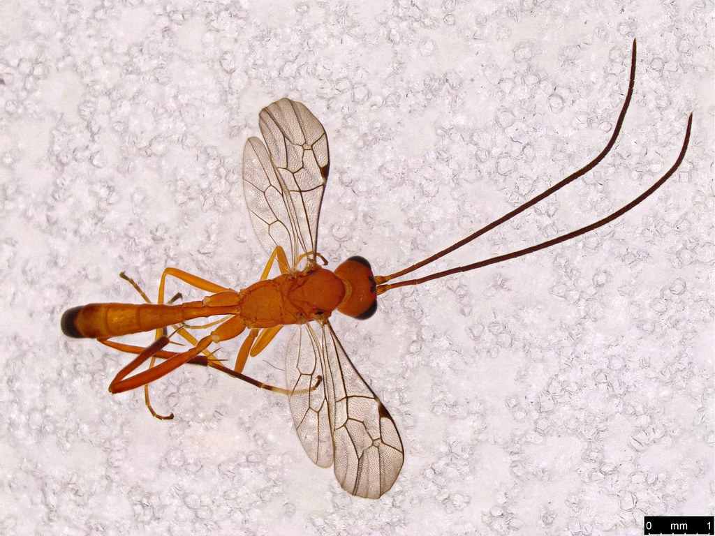 25a - Ichneumonidae sp.