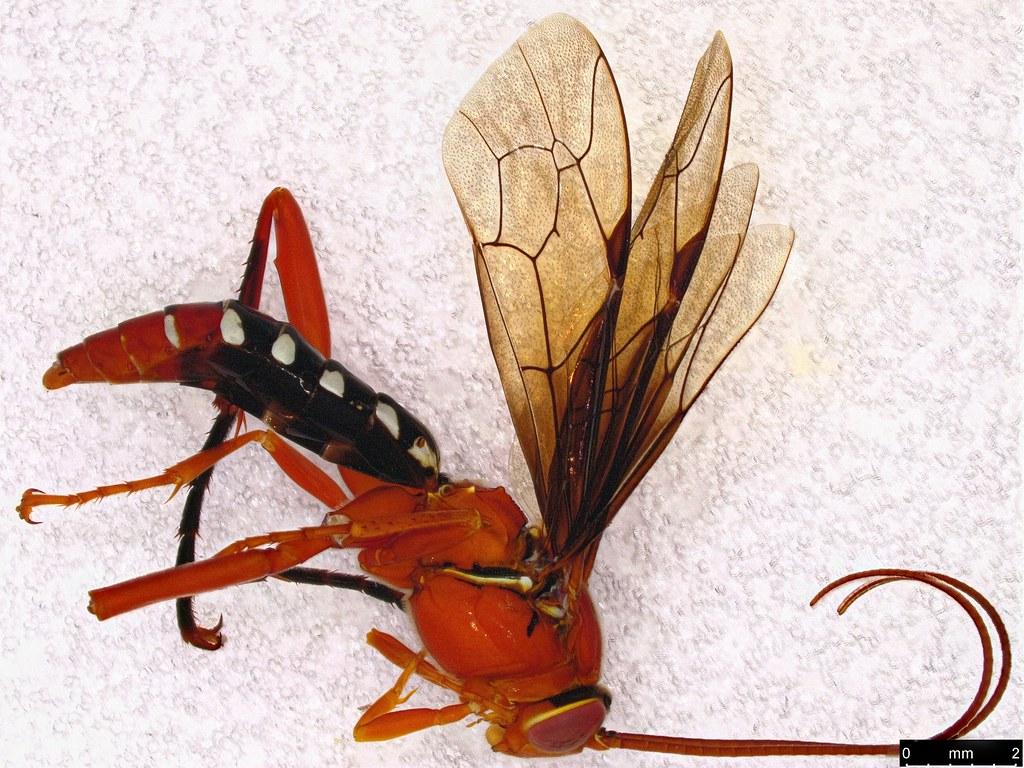 29 - Lissopimpla excelsa (Costa, 1864)