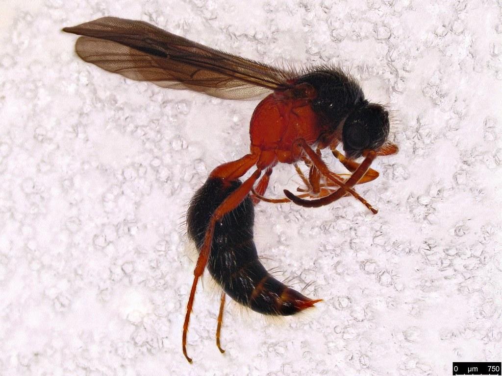31a - Mutillidae sp.