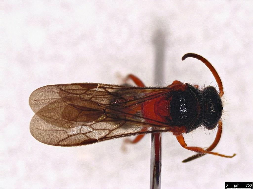 31b - Mutillidae sp.