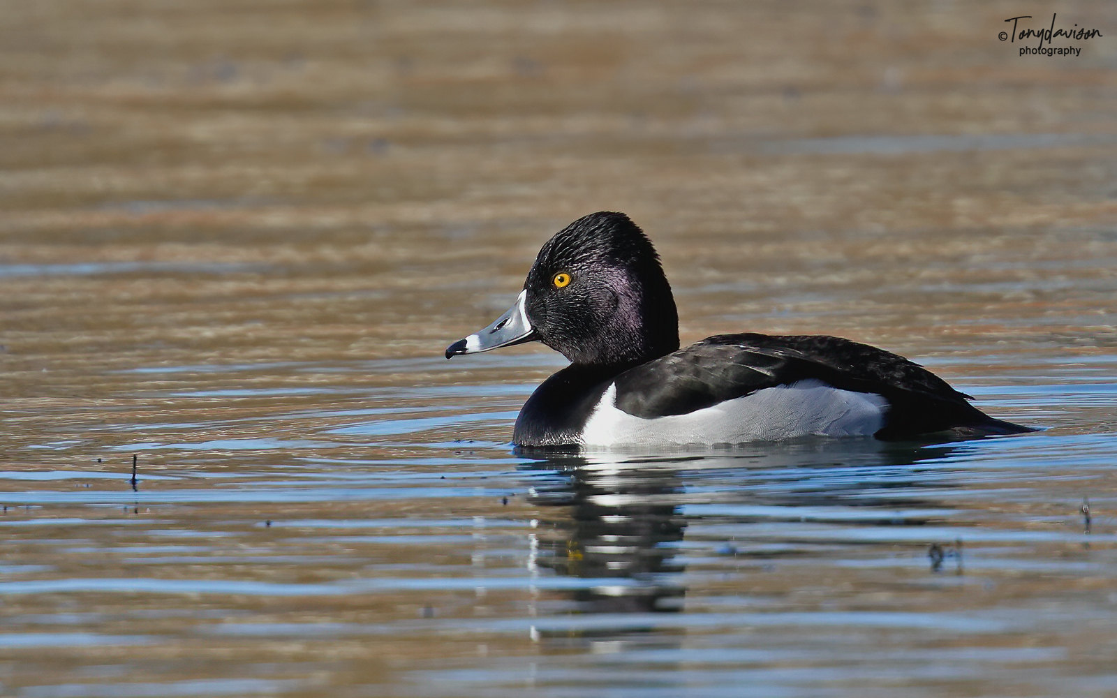 Ring-necked Duck - First winter drake