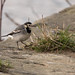 Pied Wagtail ♀