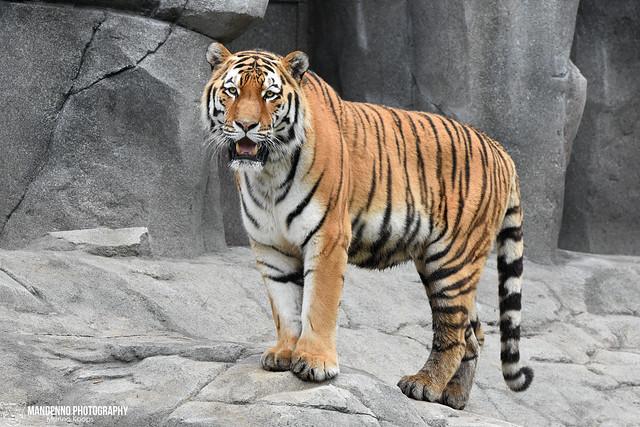 Siberian tiger - Zoo Koln