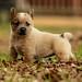 What Are Responsible Heeler Breeders? - Herding Pups