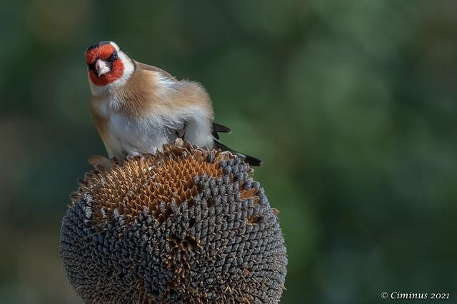 Carduelis carduelis (Goldfinch, Cardellino).