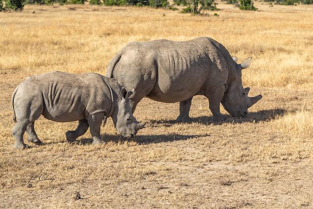 Armchair Traveling - Critically Endangered Black Rhinos in Kenya