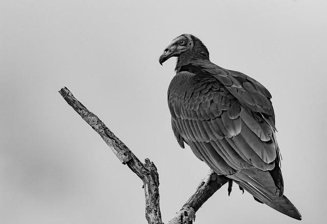 Vulture / Urubu