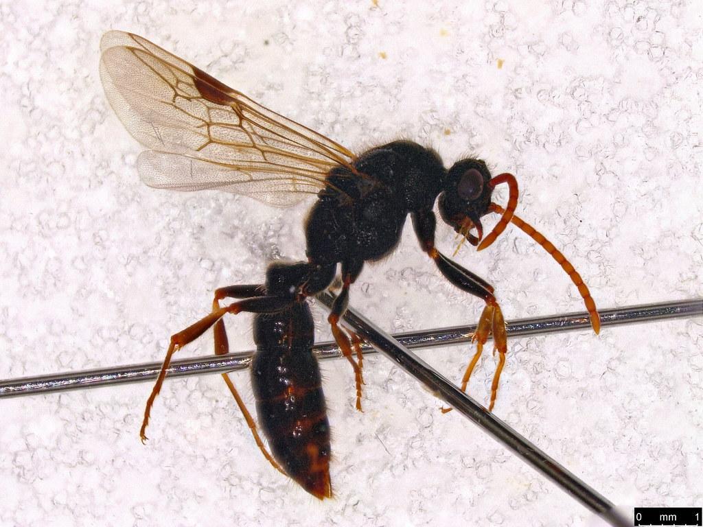 41 - Formicidae sp.