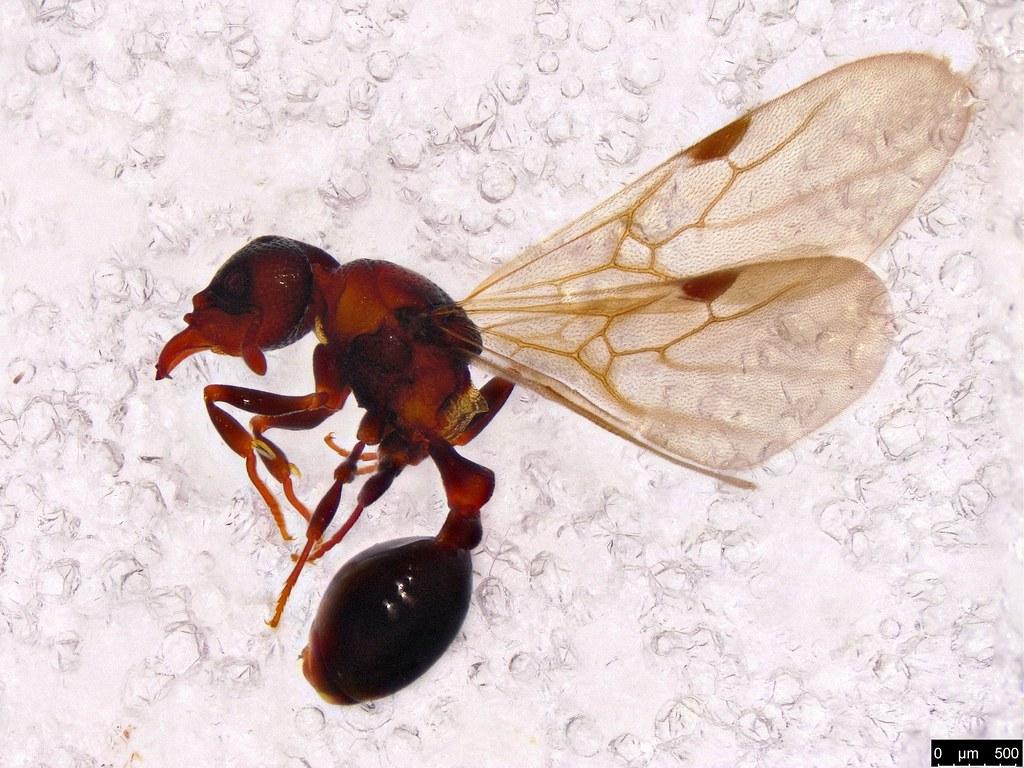 42a - Mesostruma bella Shattuck, 2000