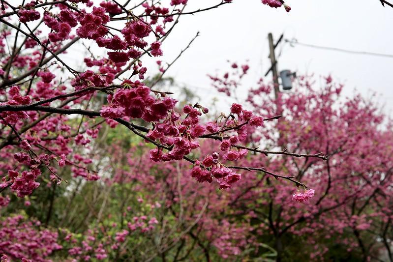 三生步道櫻花開