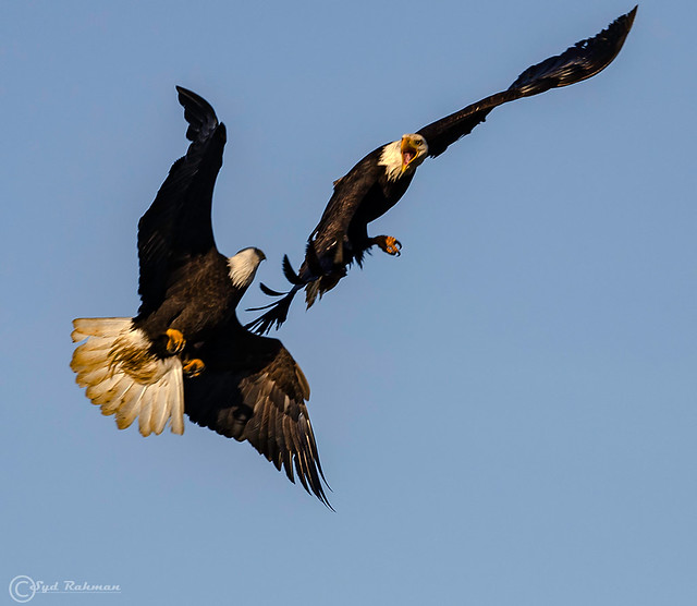 Bald Eagle fighting for dominance at Ladner, Delta, BC, Canada