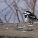 Pied Wagtail ♂
