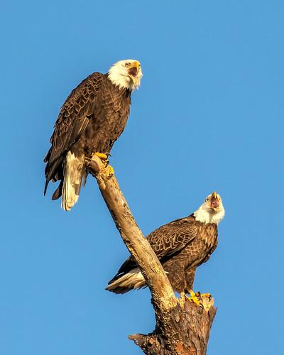 birds bir flight sky raptor eagle