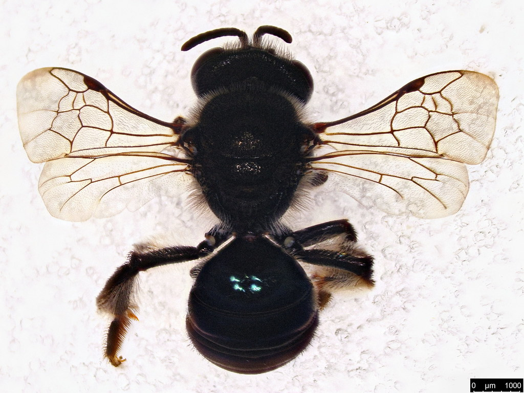 43a - Apoidea sp.
