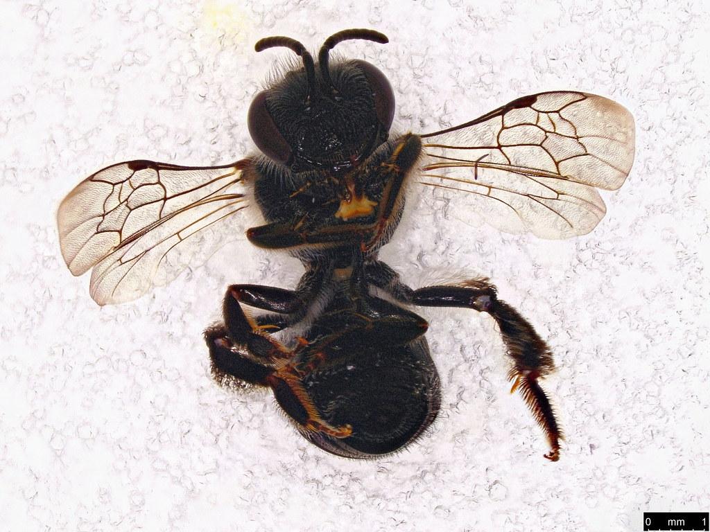 43b - Apoidea sp.