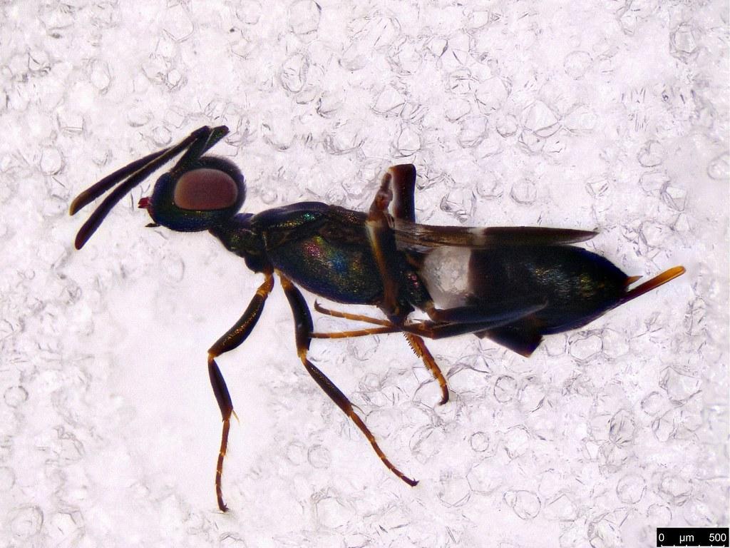 46a - Anastatus sp.