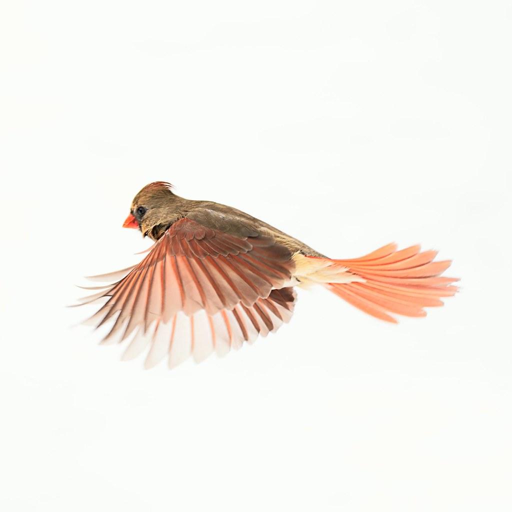 Cardinal female over the snow.