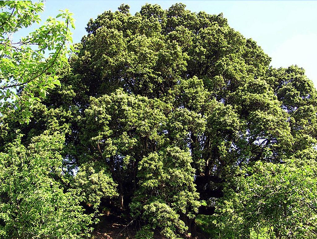 Quercus ilex L. 1753 (FAGACEAE).
