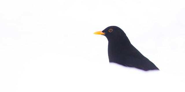 Blackbird Art 02