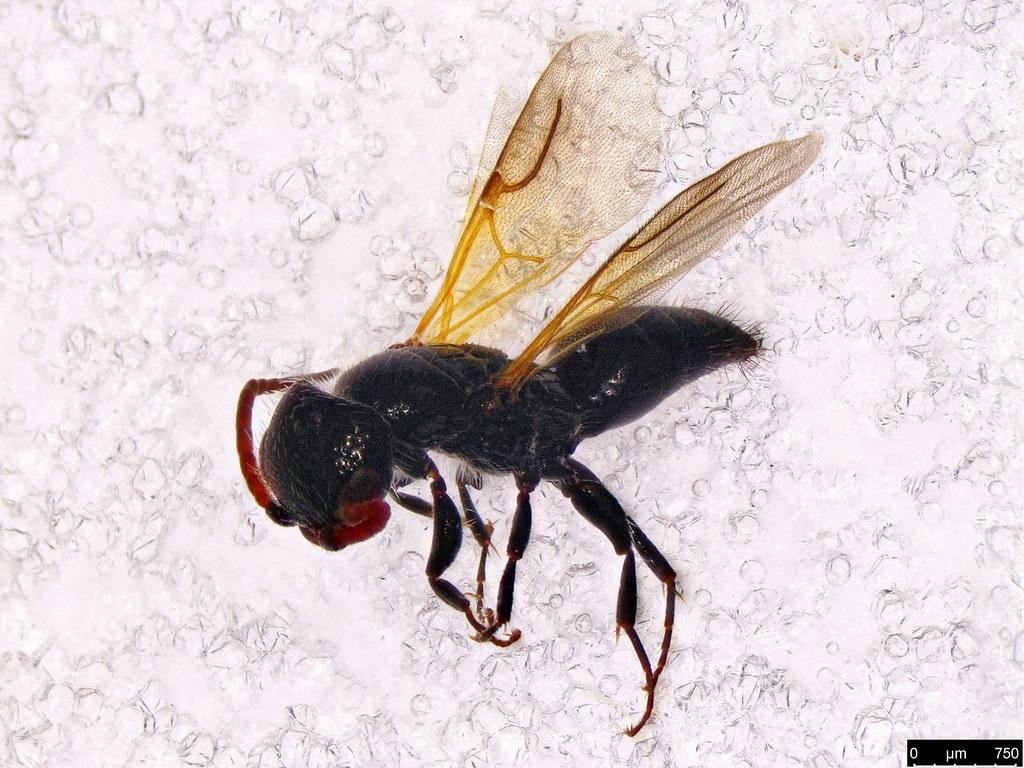 36 - Bethylidae sp.