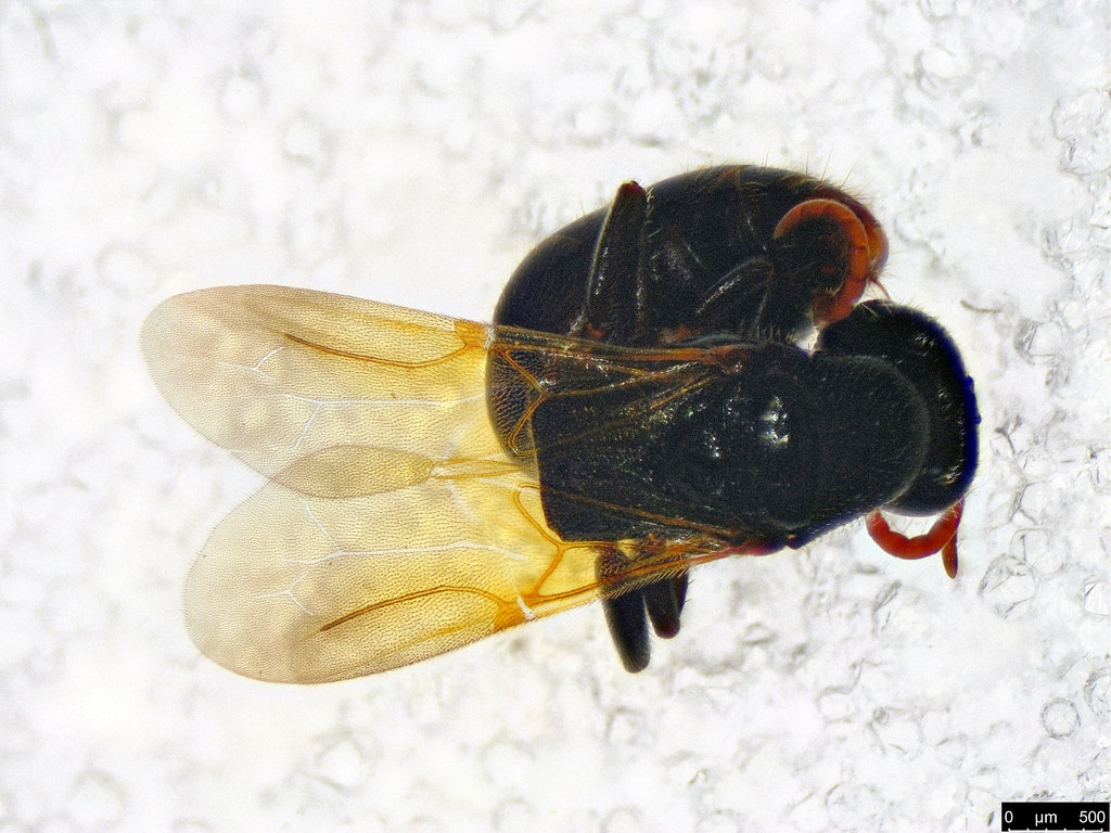 38c - Bethylidae sp.