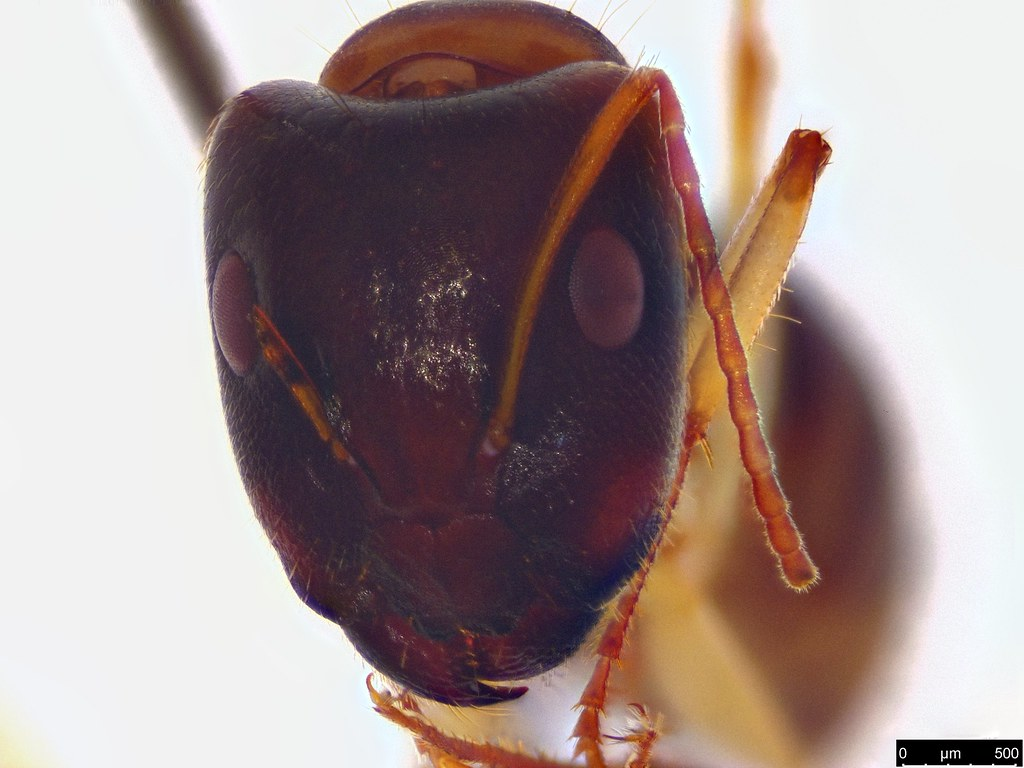 43b - Camponotus claripes Mayr, 1876