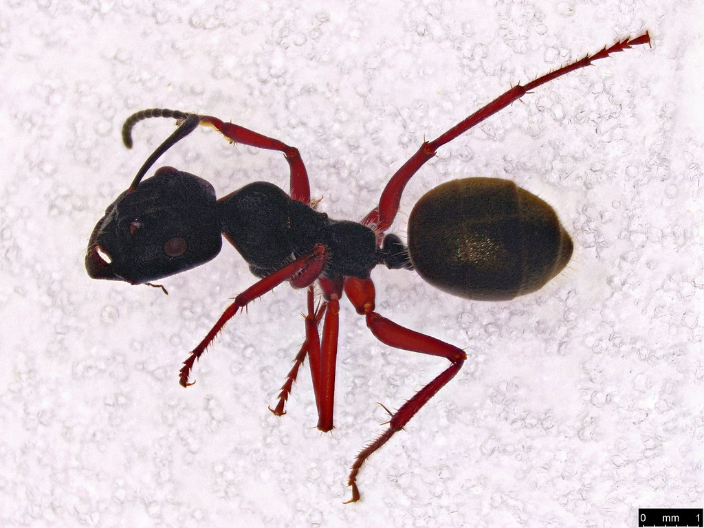 42a - Camponotus suffusus (Smith, F., 1858)