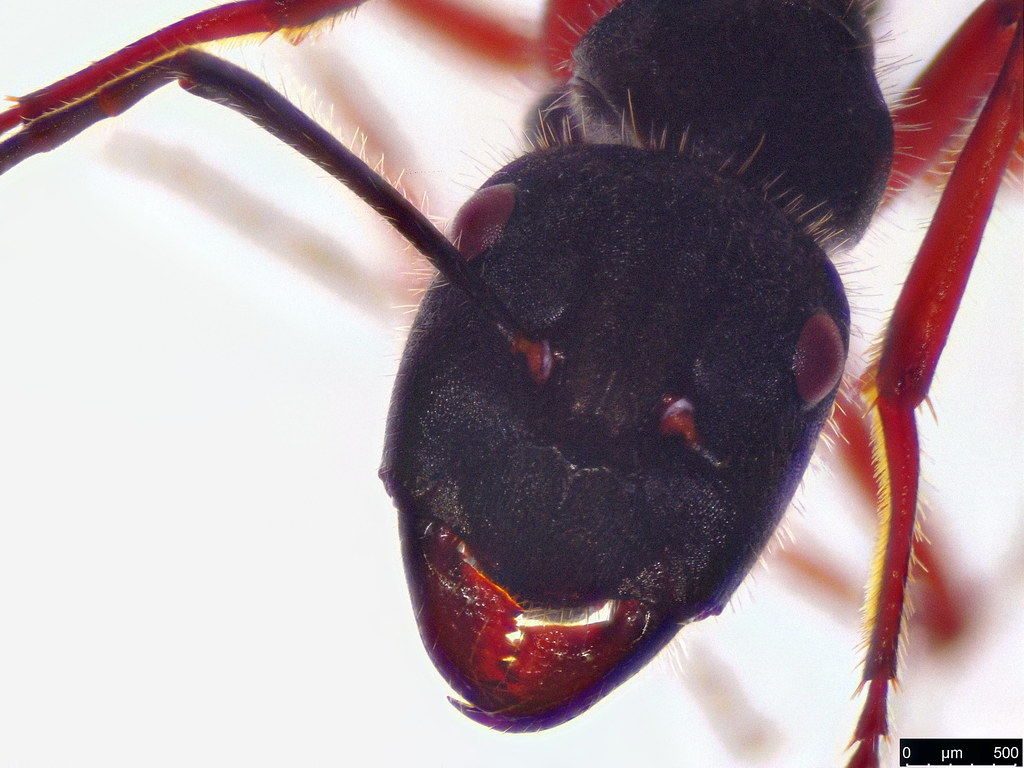 42b - Camponotus suffusus (Smith, F., 1858)