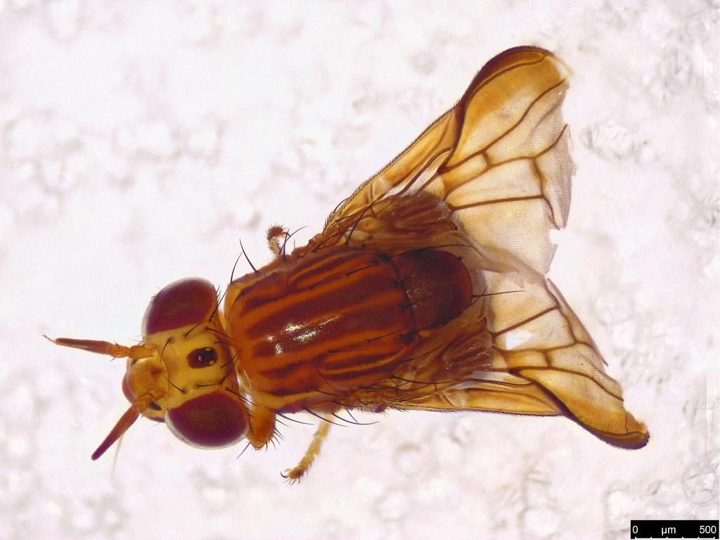 61c - Calyptratae sp.