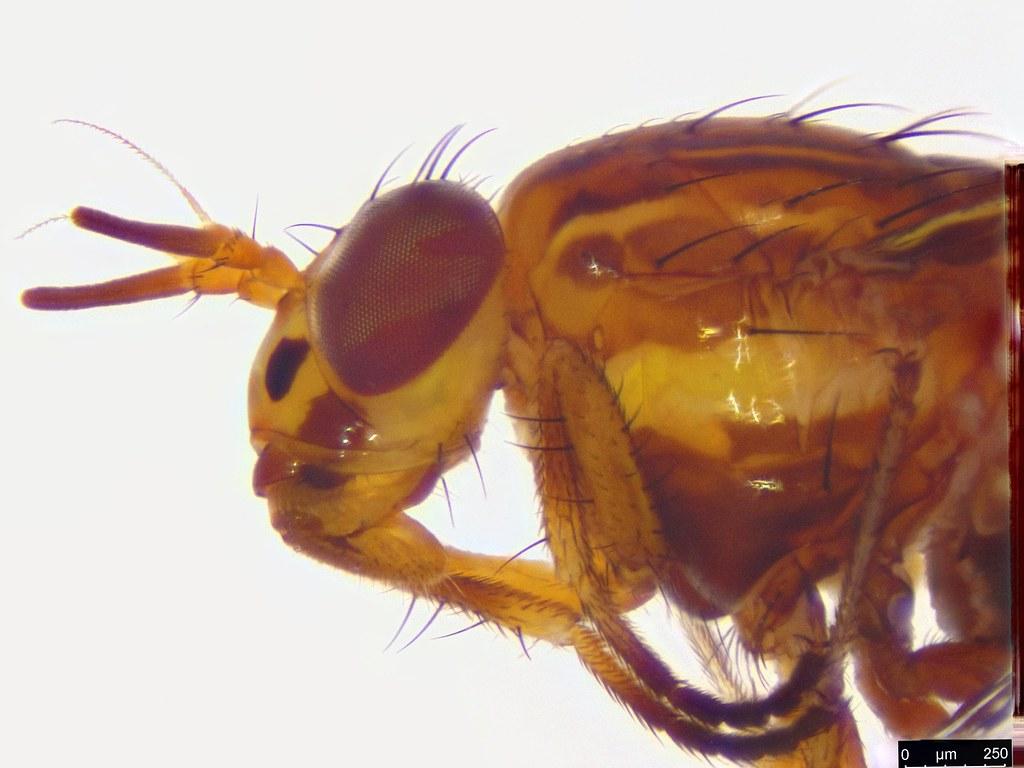 61d - Calyptratae sp.