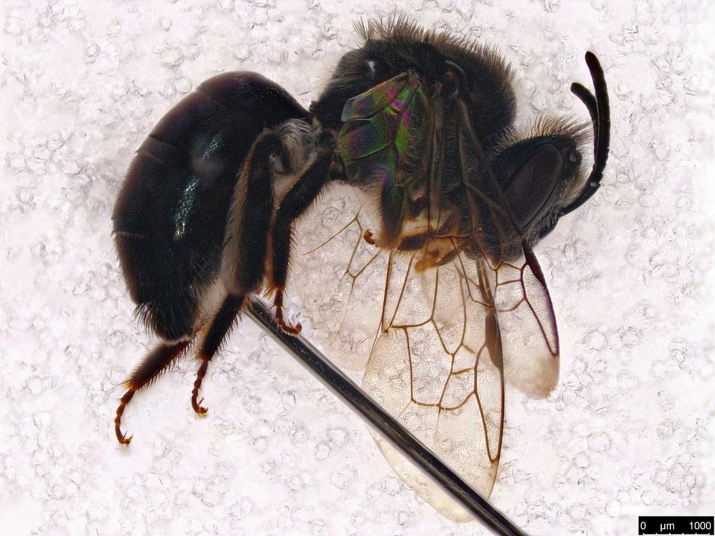 43c - Apoidea sp.