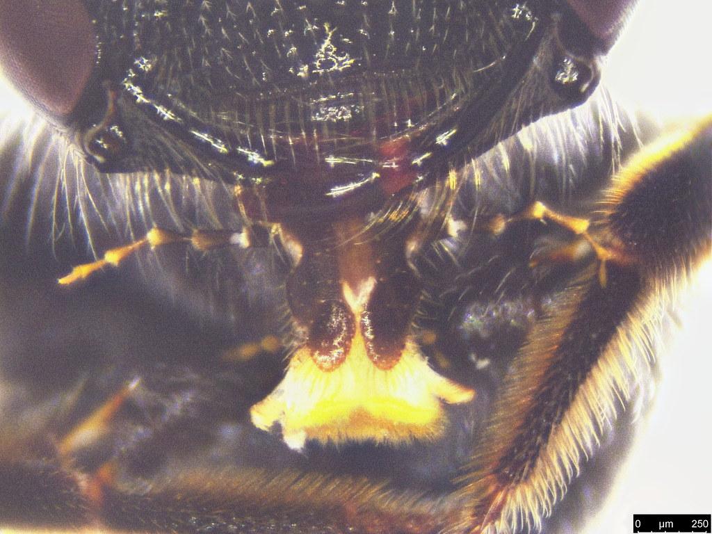 43e - Apoidea sp.