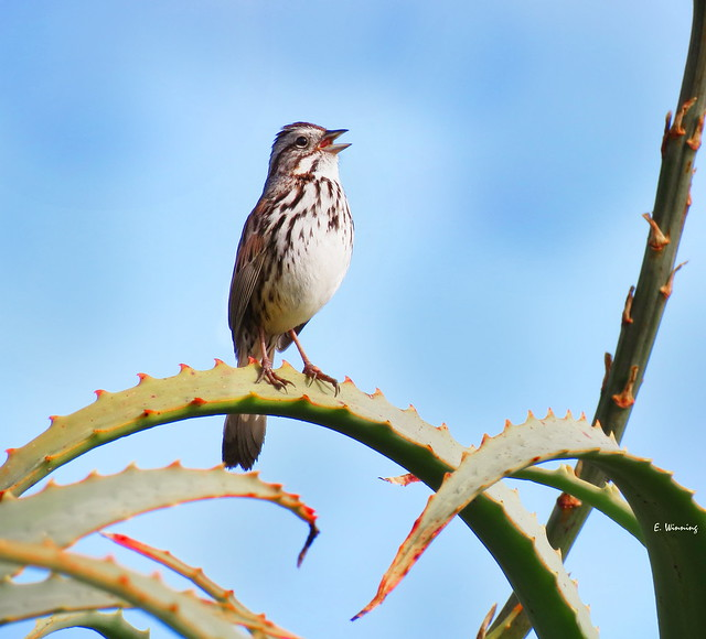 Sparrows of the West #8 -  Coastal Song Sparrow  4469