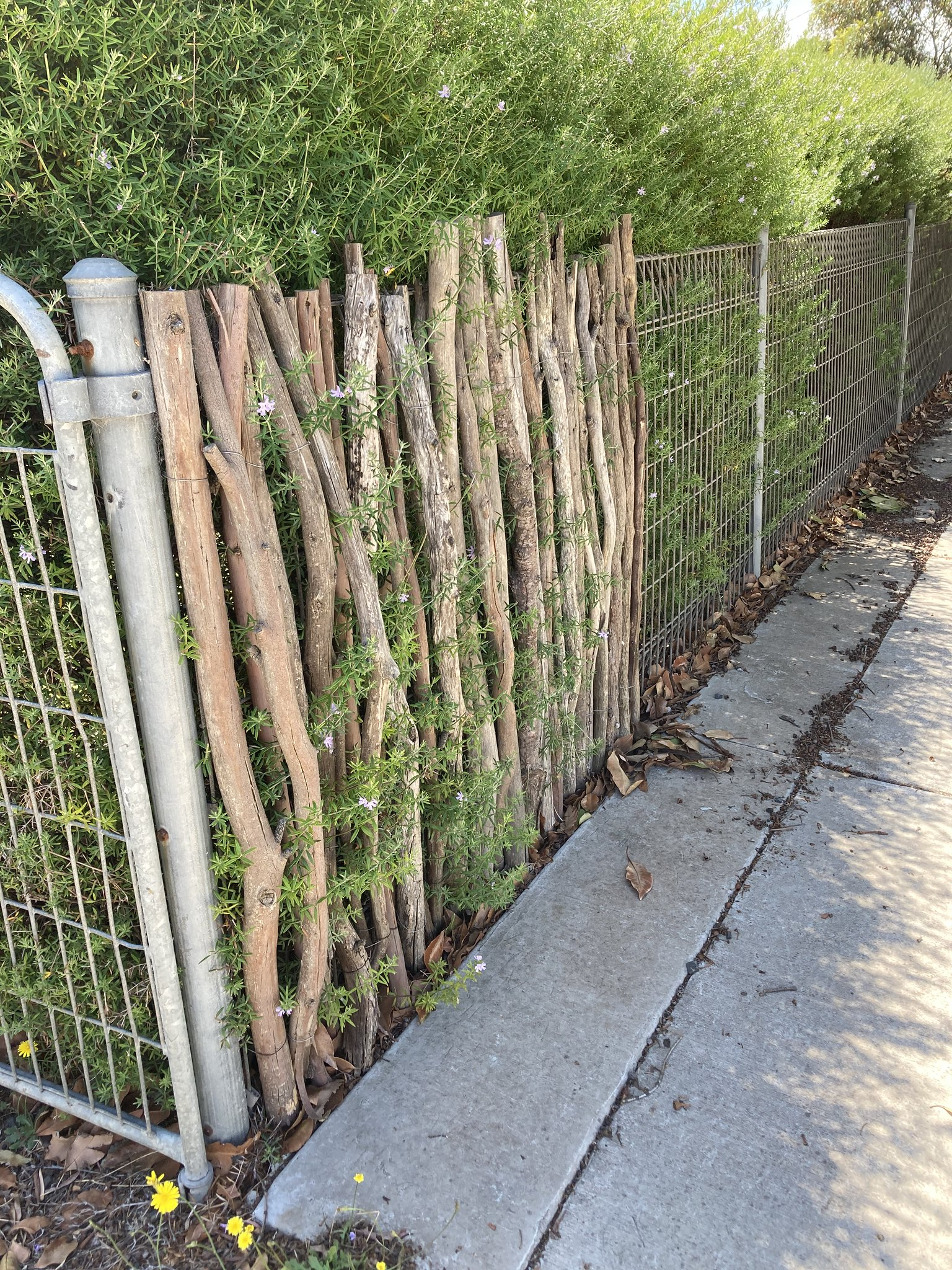 a metal fence, with a tall wystringia hedge behind it, beginning to be covered in upright sticks