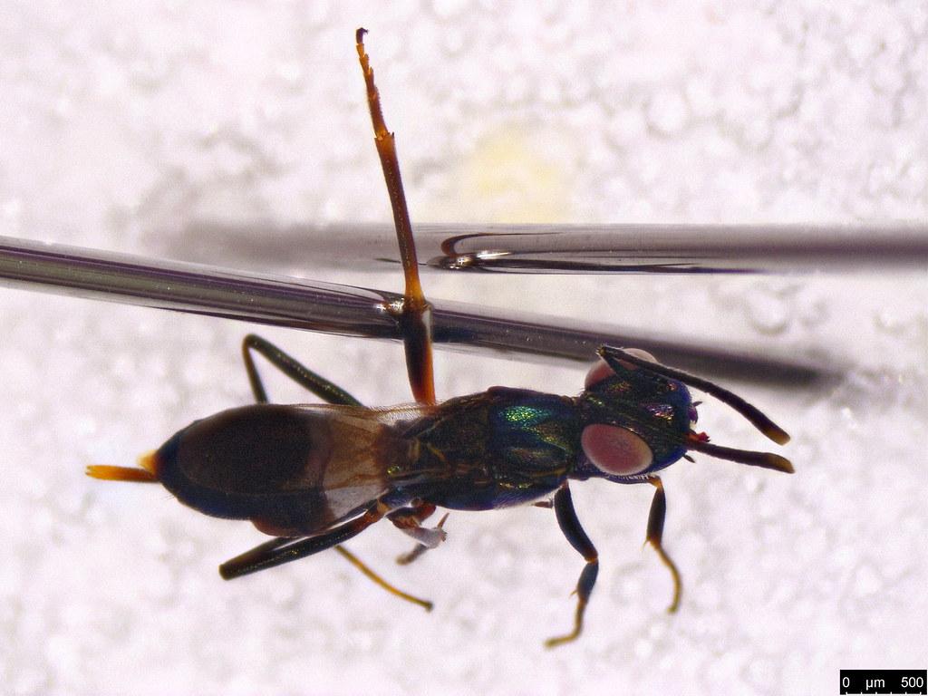 46b - Anastatus sp.