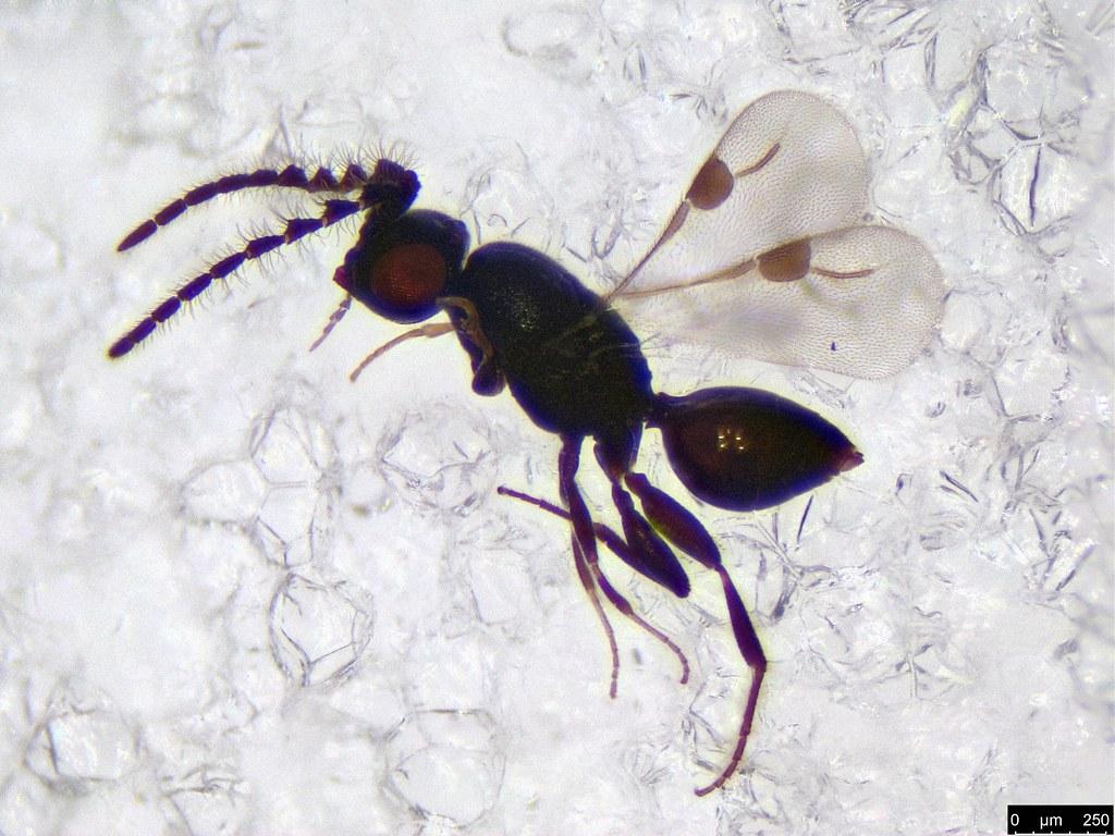 51- Hymenoptera sp.