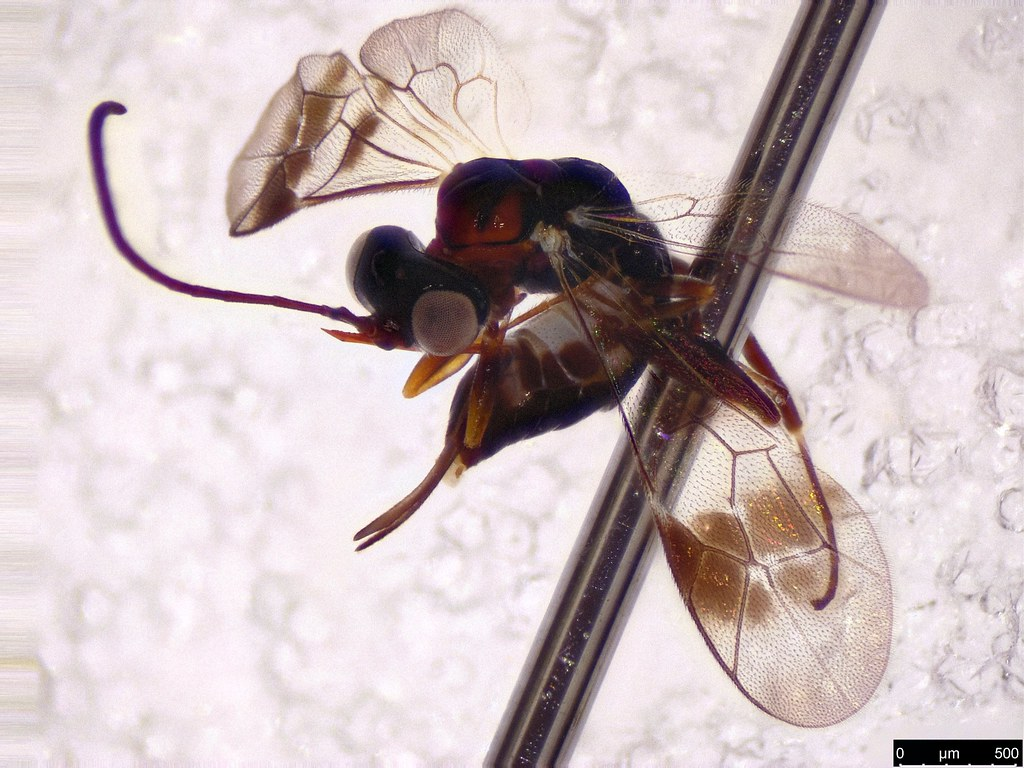 54b - Ichneumonidae sp.