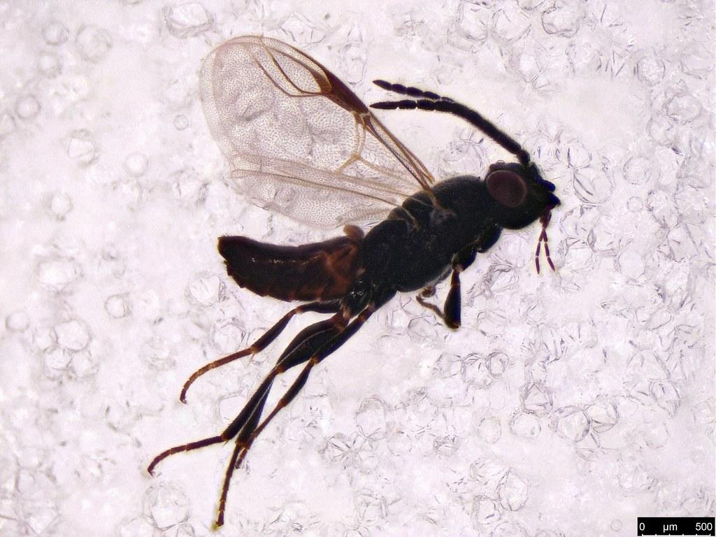 47 - Hymenoptera sp.