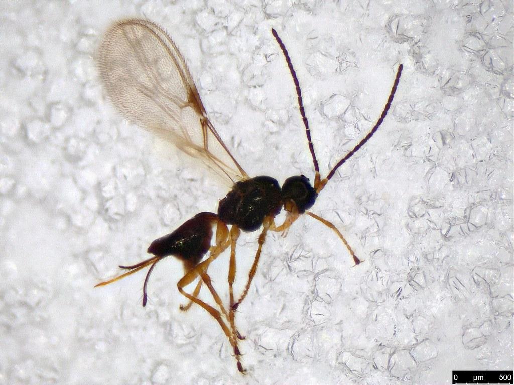 52 - Hymenoptera sp.