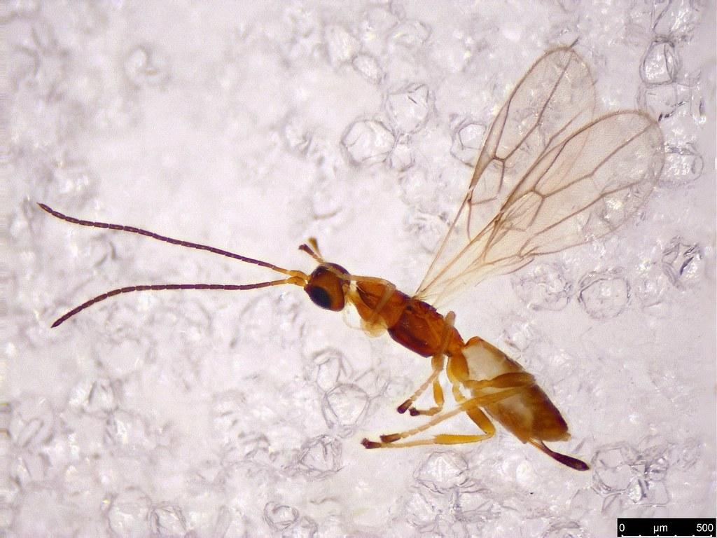 57a - Hymenoptera sp.