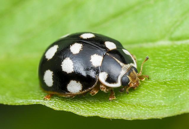 Cream-spotted Lady Beetle - Calvia quatuordecimguttata (Coccinellidae,Coccinellinae, Coccinellini) 118z-7287230