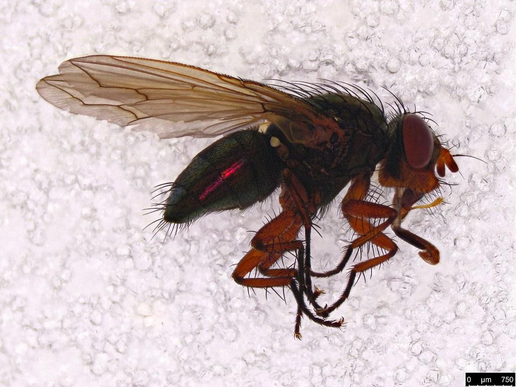 62 - Cuphocera sp.