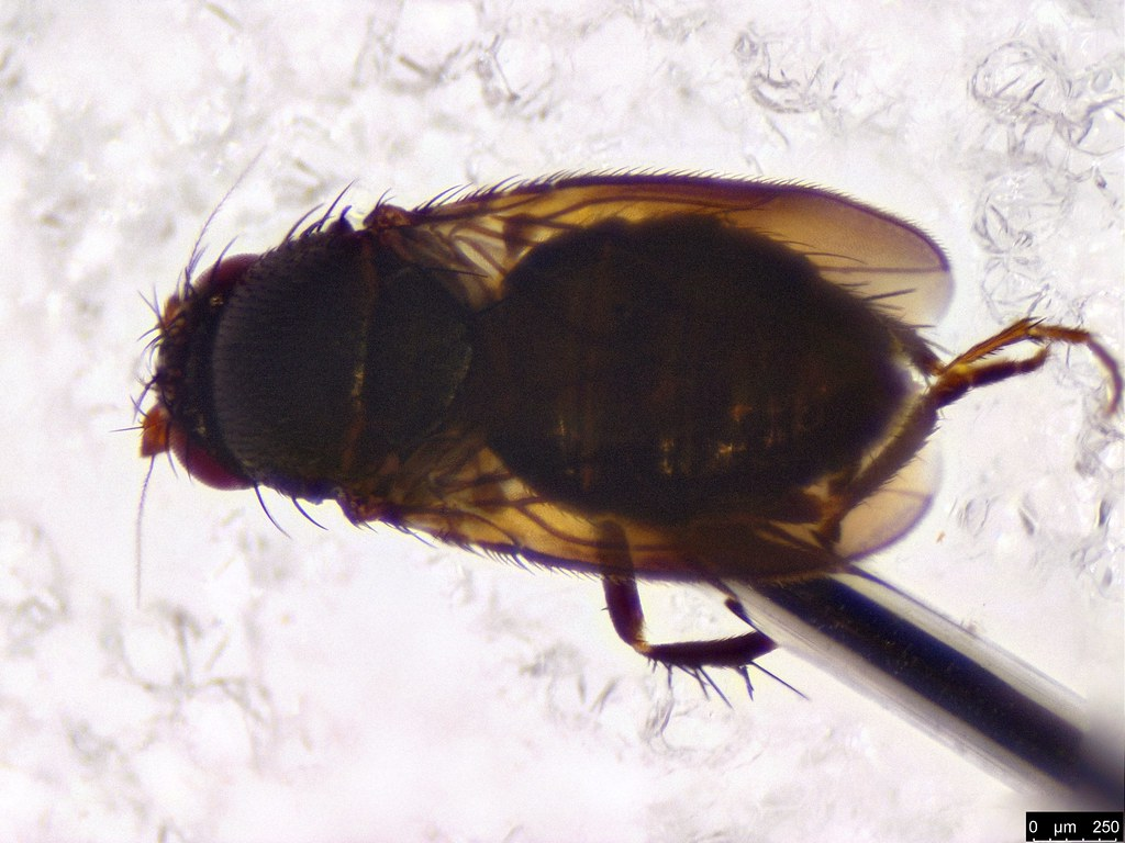63b - Diptera sp.