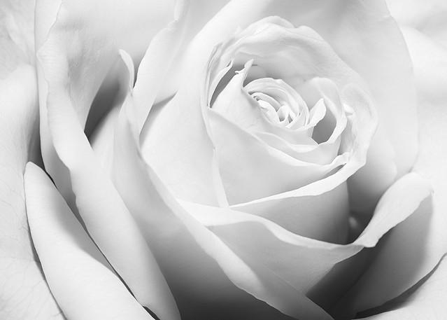 White Rose In Monochrome