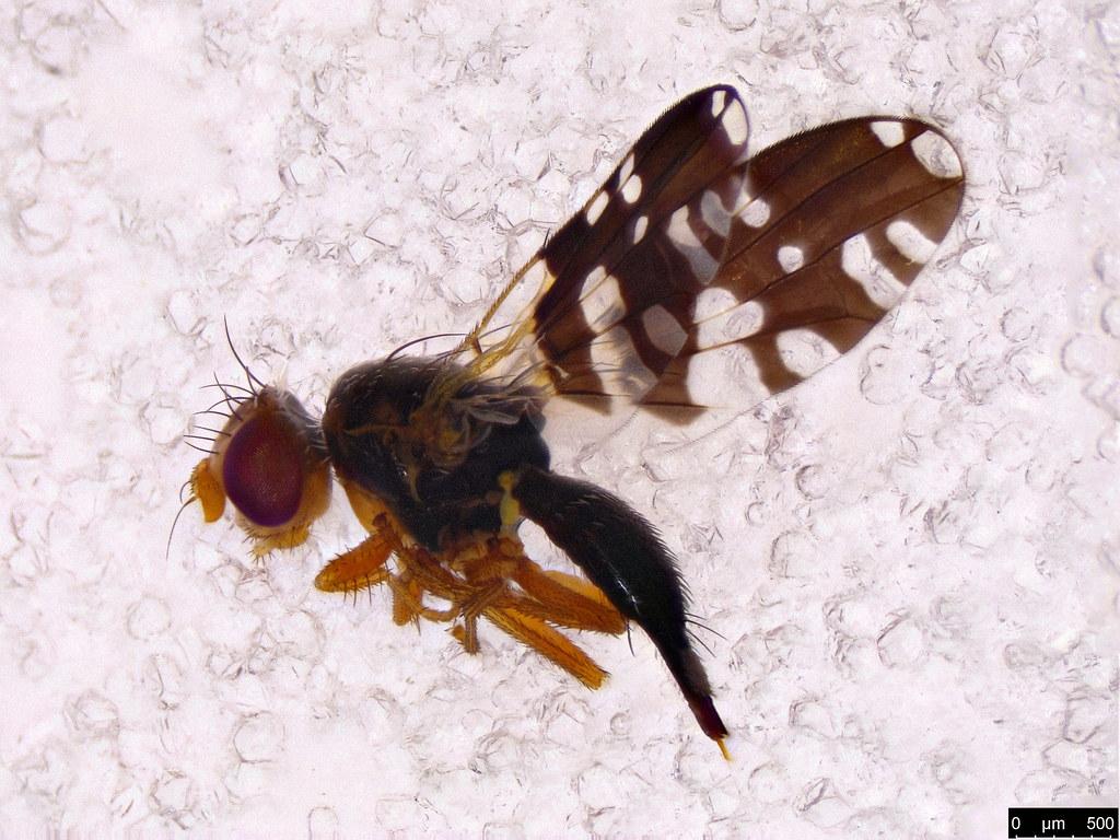 58 - Paraspathulina apicomacula Hardy & Drew 1996