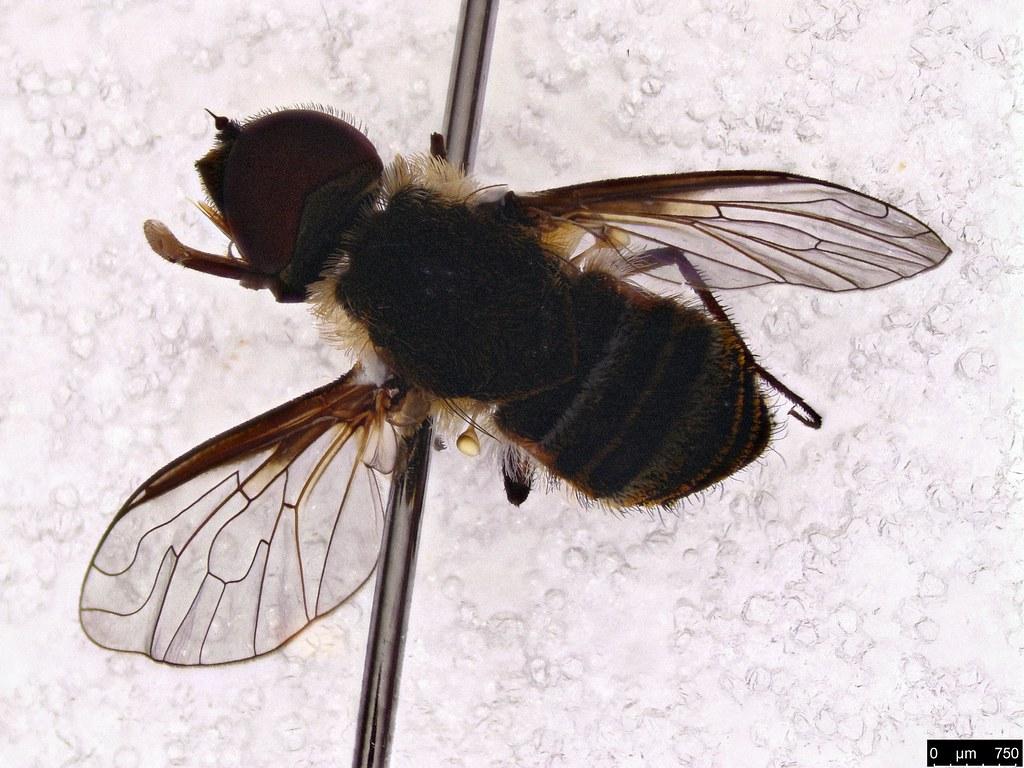 59a - Tabanidae sp.