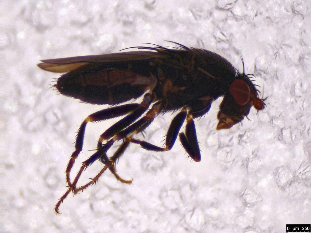63a - Diptera sp.