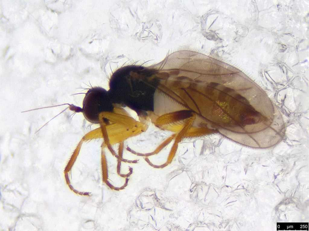 64b - Diptera sp.