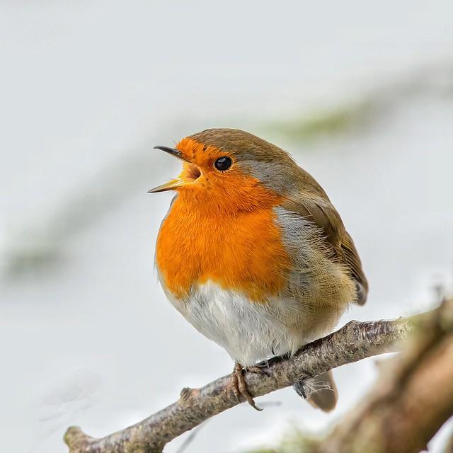 Robin serenade 🎵🎶🎶🎵